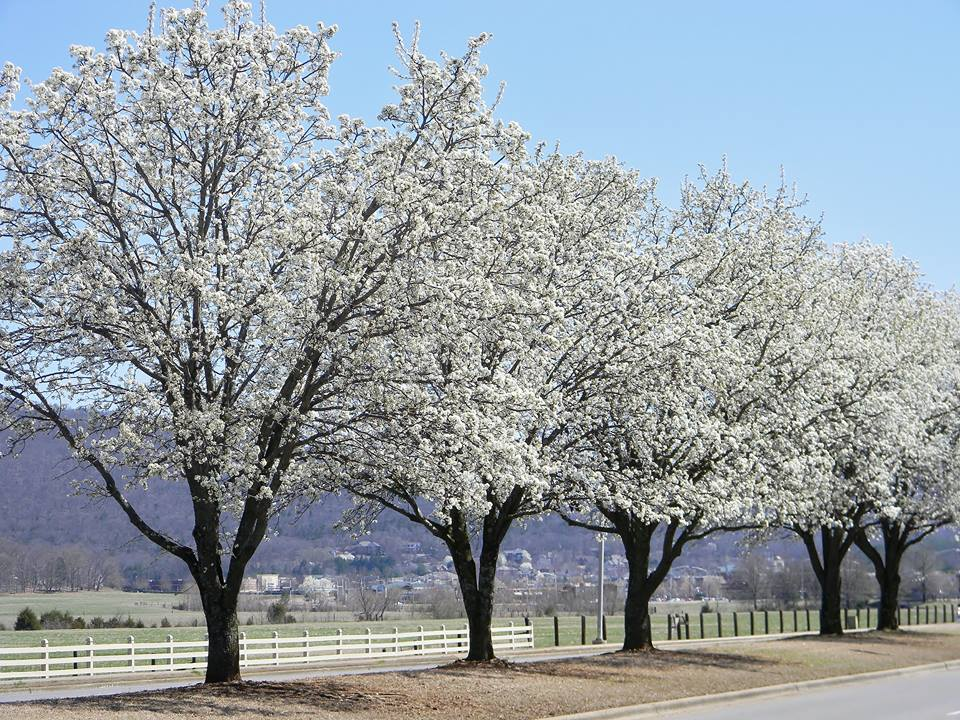 Bradford Pears blooming along Carl T Jones